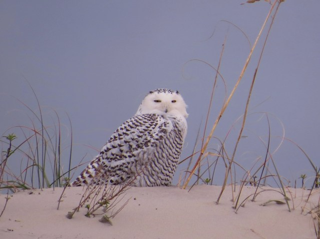 Snowy Owl seen on Ocracoke 2013 CBC  Photo by  Jeff Beane