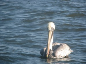 Morty Gaskill brown pelican 2014-11-04 09.06.50