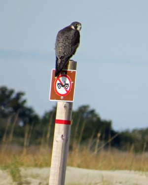 Peregrine Falcon Portsmuth ps IMG_0681