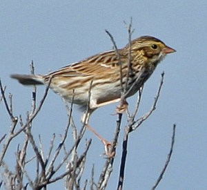 Savannah Sparrow PS _IMG_4789