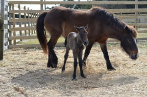 Ocracoke ponies