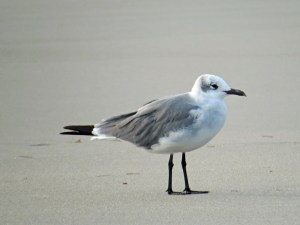 Laughing gull in its winter plumage. Photo by P. Vankevich