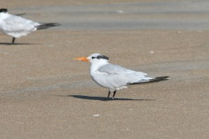 Royal Tern in basic pumage