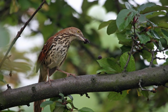 Brown Thrasher feeding PS IMG_8375