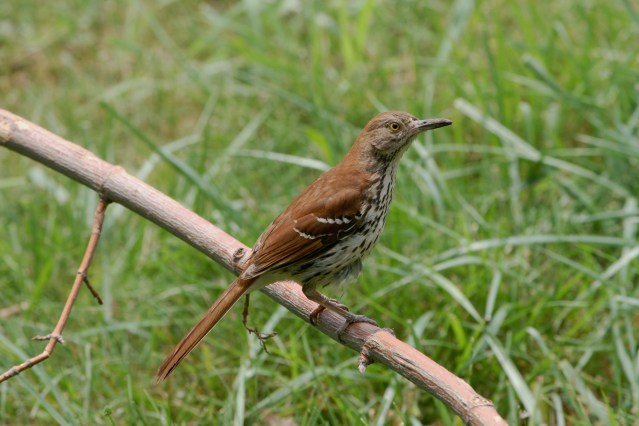 Brown Thrasher PS IMG_8442