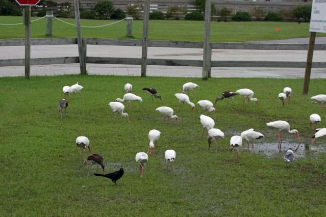 White Ibis forataging Ocracoke's NPS Visitors Center. Photo by P. Vankevich