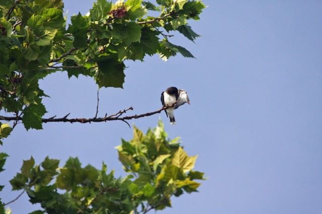 Eastern Kingbird preening. Photo by P. Vankevich