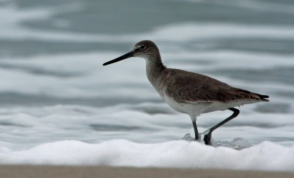 Willet Western PS crop IMG_3858