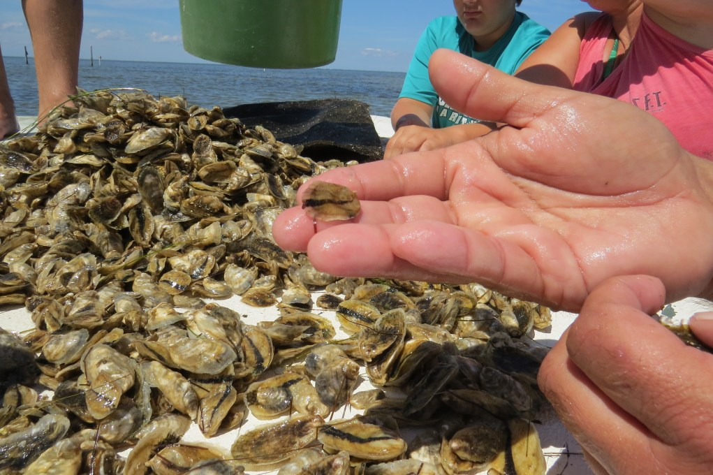 Culling out the smaller oysters from the larger ones. They will be pace in diferent bags for further growing. Photo by C. Leinbach