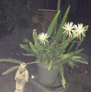 The night-blooming cereus with several flowers. Photo by Jude Wheeler