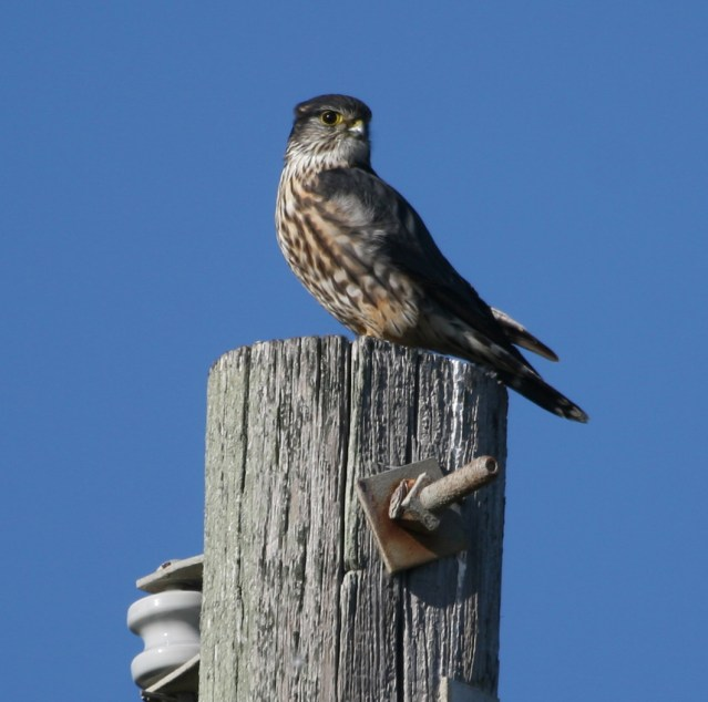 Merlin photographed at the Ocracoke campground. Photo by P. Vankevich