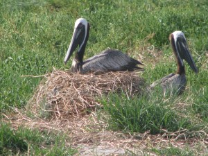Nesting Brown Pelican on Big Foot Island. Photo by P. Vankevich