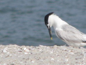 Sandwich tern footlook IMG_4006