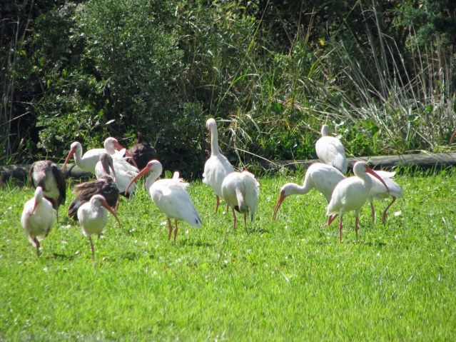 White ibis in Ocracoke village after torrential storms. Photo by P.. Vankevich
