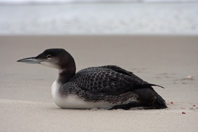 Common loon on Ocracoke beach. Photo by P. Vankevich