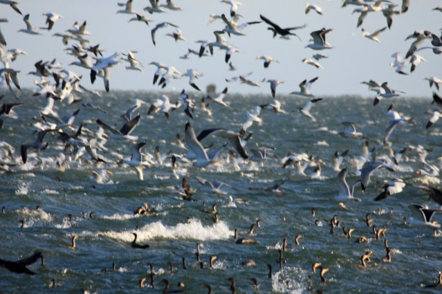 Gannets Cormorants PS IMG_6904