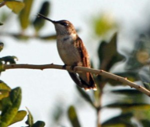 A juvenile Rufous hummingbird. Photo by P. Vankevich