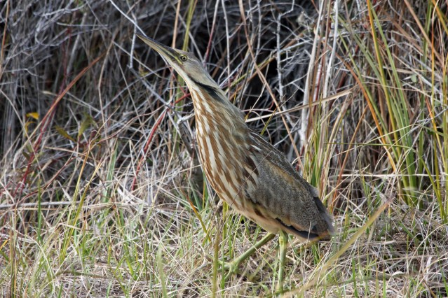 American Bittern. Photo by P. Vankevich