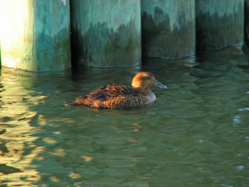 Female Common Eider. Unusual winter visitor seen in Silver Lake Harbor on a Christmas Bird Count. Photo by P. Vankevich
