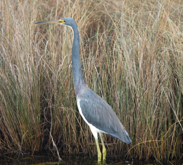 Tricolored Heron . Photo by P. Vankevich