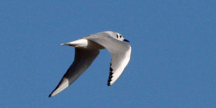 Bonapartes Gull flight crop PS IMG_1235