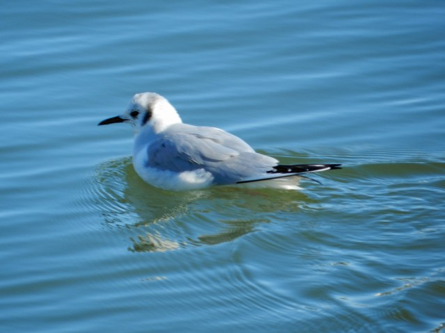 Bonaparte's Gull PS 2015-01-31 15.48.56