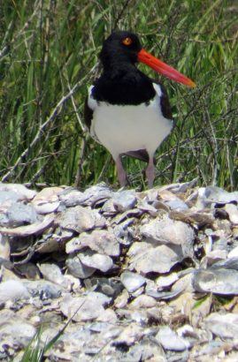 An oyster catcher on North Rock Island near Portsmouth. Oyster catchers have powerful beaks with which to rip open oysters, their chief food. Photo: P. Vankevich
