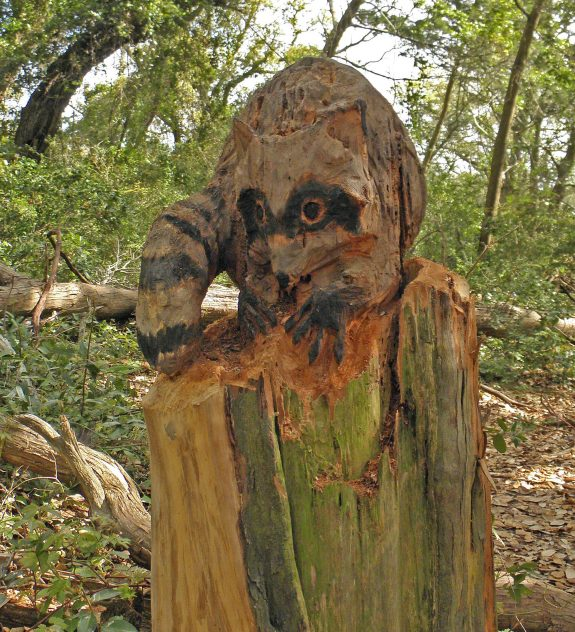 Hikers on the Springers Point trail will encounter this raccoon, another of Len Skinners works. Photo: C. Leinbach