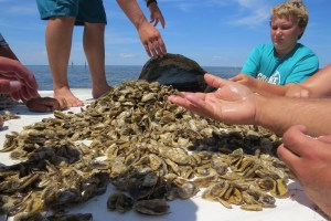 Oysters are being farmed in the Pamlico Sound by the Ocracoke-based Devil Shoals Oyster Co. and are already being sold and served on Ocracoke. Photo: C. Leinbach