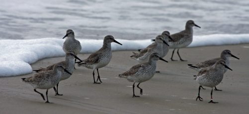 Wintering Red knots on Ocracoke. Photo: P. Vankevich