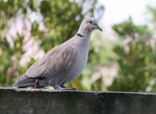 Eurasian Collard-Dove. Phofo by P. Vankevich