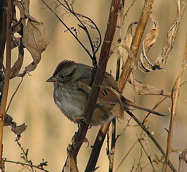 swamp-sparrow-ps-2005-12-18-14-46-40