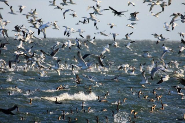gannets-cormorants-ps-img_6904