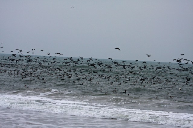 Double-crested Cormorants on Ocracoke, NC . Photo by Peter Vankevich