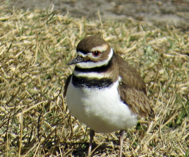 Killdeer on Ocracoke Island, NC, Jan. 6, 2018. Photo: Peter Vankevich