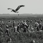 Brown Pelicans Beacon ps IMG_7437
