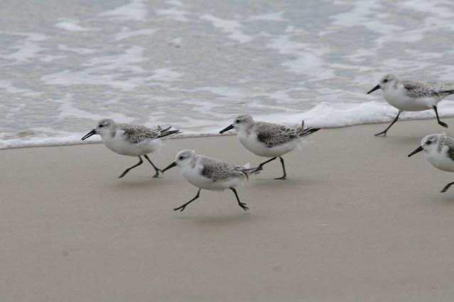 Sanderlings on Ocracoke, N.C. Photo: P. Vankevich