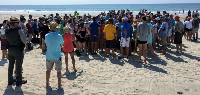 A large crowd on Tuesday watches the excavation of a recently hatched sea turtle nest near the Ocracoke, N.C., Lifeguard Beach. Photo: C. Leinbach