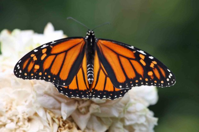 Monarch butterfly on Ocracoke, N.C.. Photo: P. Vankevich