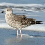 Lesser black-backed gull immature crop 2952