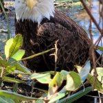 Eagle-cropped