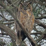 Great horned owl PS IMG_8647