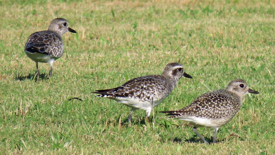 Black-bellied Plovers at the NPS campground area, Ocracoke, N.C., Sept. 25. Photo by Richard Taylor