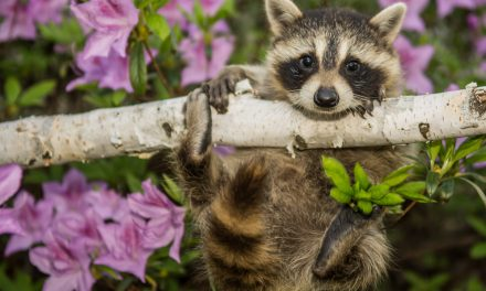 LACEY: DEP Staying Tight Lipped On Racoon Slaying