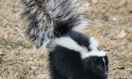 Beachwood: Trapped Skunk