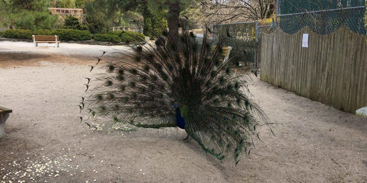 Beachwood: Peacocks on the loose