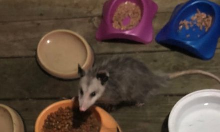 Beachwood: Opossum Trouble