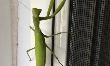 TR: Praying Mantis