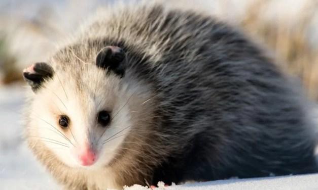BARNEGAT: Opossum Troubles
