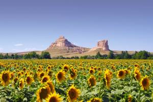 field of sunflowers with large sandstone rock formations